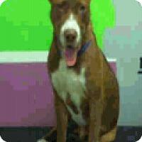 Adopt A Pet :: Moonpie - Fort Collins, CO
