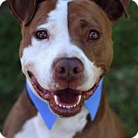 American Staffordshire Terrier/Labrador Retriever Mix Dog for adoption in San Diego, California - Joey Doves