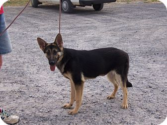 German Shepherd Dog Puppy for adoption in Tully, New York - CC