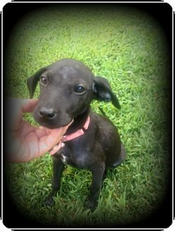 Chihuahua/Dachshund Mix Puppy for adoption in Indian Trail, North Carolina - Hope