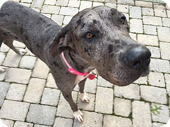 Great Dane Dog for adoption in Manassas, Virginia - Polo