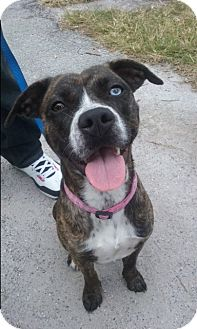 Australian Cattle Dog/Terrier (Unknown Type, Medium) Mix Dog for adoption in Boynton Beach, Florida - Sadie