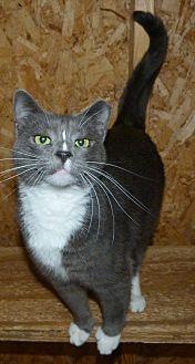 Domestic Shorthair Cat for adoption in Stafford, Virginia - Dino