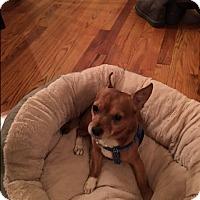 Adopt A Pet :: Chicharito - New York, NY