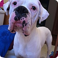 Boxer Dog for adoption in Nicholasville, Kentucky - Ice