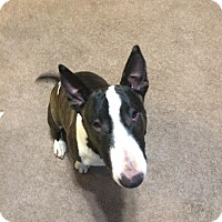 Bull Terrier Dog for adoption in Reno, Nevada - Indica