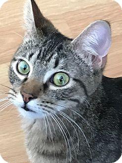 Domestic Shorthair Cat for adoption in Virginia Beach, Virginia - Sir Elliot