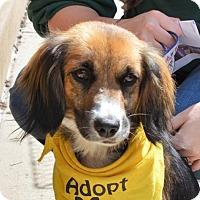 Adopt A Pet :: KitKat - Rockville, MD