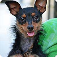 Miniature Pinscher/Yorkie, Yorkshire Terrier Mix Dog for adoption in Hagerstown, Maryland - Ally