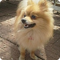 Adopt A Pet :: GIZMO - Norfolk, VA