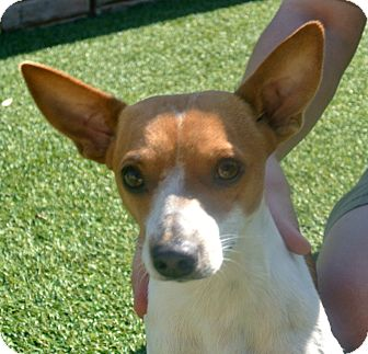 Fox Terrier (Smooth) Mix Dog for adoption in white settlment, Texas - Bobo