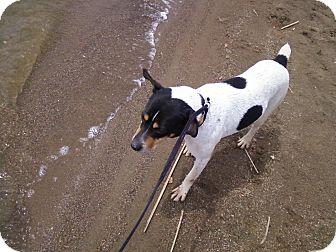 Rat Terrier/Rat Terrier Mix Dog for adoption in Carey, Ohio - RADAR