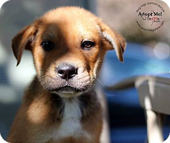 Bulldog/Shar Pei Mix Puppy for adoption in Marlton, New Jersey - Alex