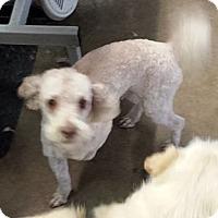 Adopt A Pet :: Limerick - Phoenix, AZ
