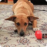Adopt A Pet :: Honey - Adoption Pending - Vancouver, BC