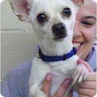 Adopt A Pet :: Kao - Seattle, WA