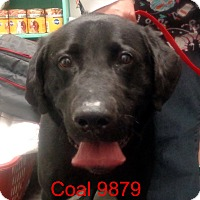 Adopt A Pet :: Coal - Greencastle, NC