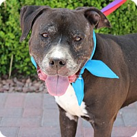 American Pit Bull Terrier Mix Dog for adoption in Las Vegas, Nevada - PATCHES