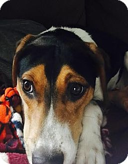 Beagle/Pointer Mix Puppy for adoption in Columbus, Ohio - Dutch