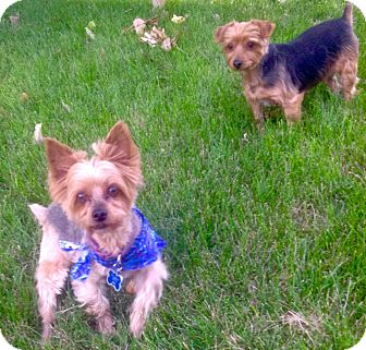 Yorkie, Yorkshire Terrier Mix Dog for adoption in Parker, Colorado - Jackson (and Bayley)