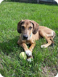 Great Dane Mix Puppy for adoption in New Oxford, Pennsylvania - Astrid Girl