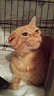 Domestic Shorthair Cat for adoption in Clarkson, Kentucky - Onie
