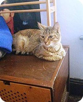 Domestic Shorthair Cat for adoption in Putnam, Connecticut - Iris