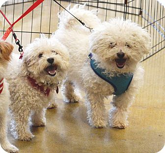 Bichon Frise Mix Dog for adoption in Rockford, Illinois - Fred & George