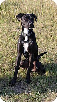 Great Dane/Labrador Retriever Mix Dog for adoption in Saskatoon, Saskatchewan - Pebbles