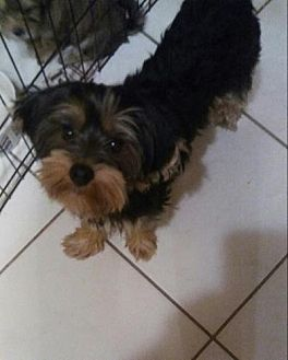 Yorkie, Yorkshire Terrier/Maltese Mix Puppy for adoption in Fort Lauderdale, Florida - Muffin