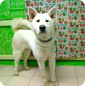 Akita Dog for adoption in Hayward, California - URGENT - White Akita in LA