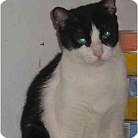 Adopt A Pet :: Munchkin - Bedford, MA