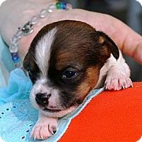 Adopt A Pet :: Scout - Chicago, IL