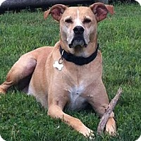 Adopt A Pet :: CODY - Quincy, MA