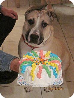 Pit Bull Terrier/German Shepherd Dog Mix Dog for adoption in Rockaway, New Jersey - Prince