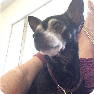 Chihuahua Dog for adoption in S. Pasedena, Florida - Nemo