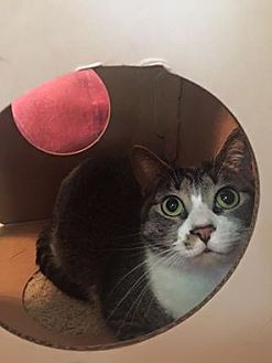 Domestic Shorthair Cat for adoption in Burlington, North Carolina - SKYLA