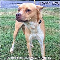 Chihuahua/Terrier (Unknown Type, Medium) Mix Dog for adoption in Bonham, Texas - Stonie
