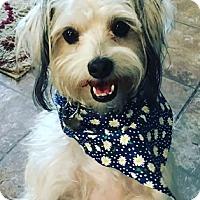 Adopt A Pet :: JACK - Mission Viejo, CA