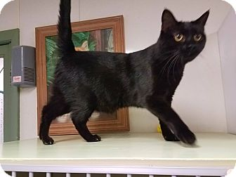 Domestic Shorthair Cat for adoption in Indianola, Iowa - Tc