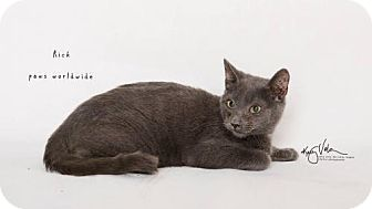 Russian Blue Kitten for adoption in Corona, California - RICK