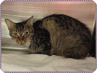Domestic Shorthair Cat for adoption in Marietta, Georgia - JASMINE (R)