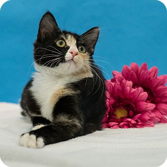 Domestic Shorthair Kitten for adoption in Houston, Texas - Simone