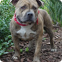 Adopt A Pet :: Hugo, the stud muffin - Los Angeles, CA