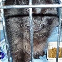 Adopt A Pet :: Shadow - Westfield, MA