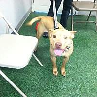 American Staffordshire Terrier/Labrador Retriever Mix Dog for adoption in Wilmington, North Carolina - BRADLEY