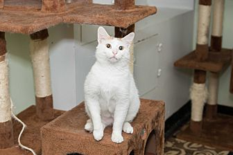 Domestic Shorthair Cat for adoption in Chicago, Illinois - Butternut