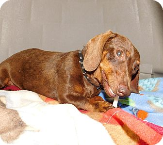 Dachshund Mix Dog for adoption in Perryville, Missouri - L.T. (Little Turd)