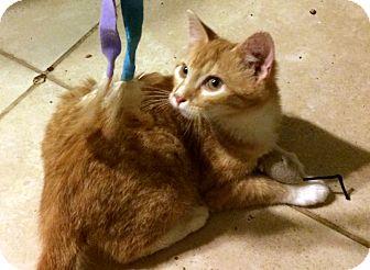 Domestic Shorthair Cat for adoption in Savannah, Georgia - Penney