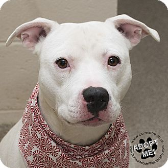 Pit Bull Terrier Mix Dog for adoption in Troy, Ohio - Kilo